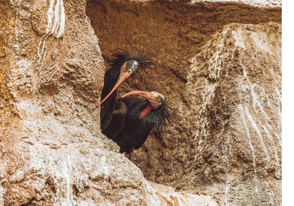 TDS Voyage - Tourisme équitable et solidaire - Maroc - Parc national de Souss Massa - Ibis Chauve