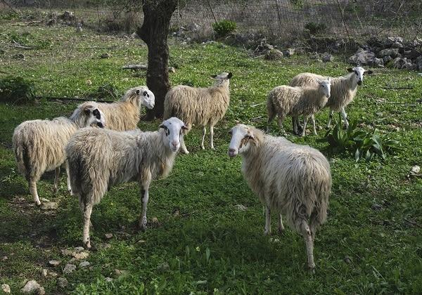 TDS Voyage - Tourisme équitable et solidaire - Crète - Anopoli - Moutons