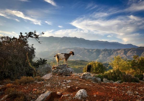 TDS Voyage - Tourisme équitable et solidaire - Crète - Chèvre