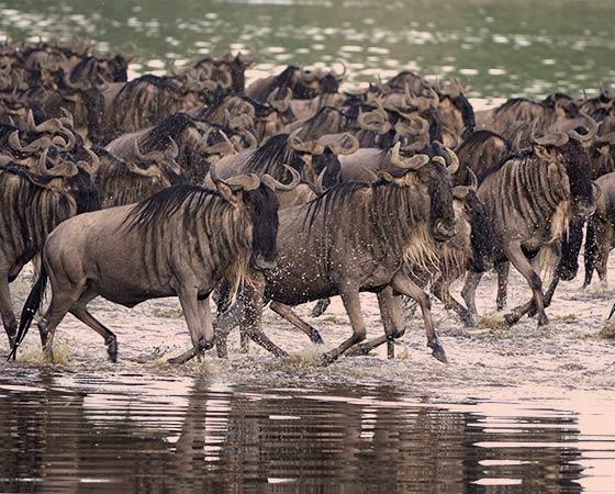 La Grande migration des gnous