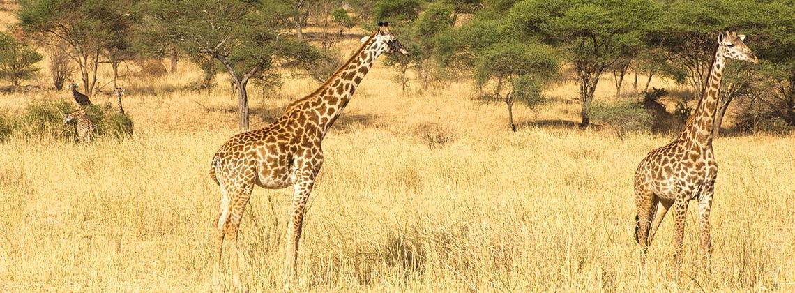 TDS VOYAGE - Tourisme équitable et solidaire - Safari en Tanzanie