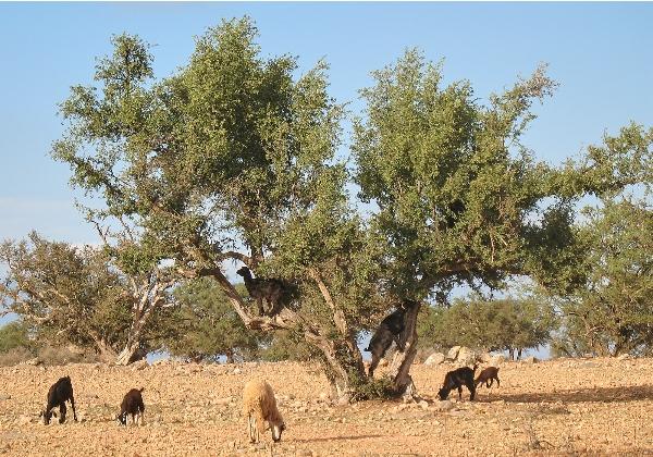 TDS Voyage - Tourisme équitable et solidaire - Maroc - Arganier - Chèvres